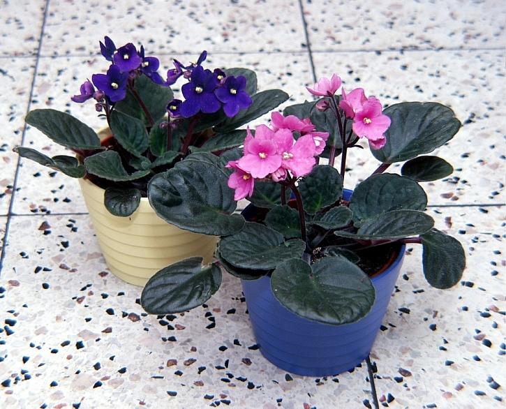 Oblíbené pokojové rostliny