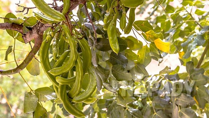 Karob jsou plody stromu jménem rohovník obecný (Ceratonia siliqua)