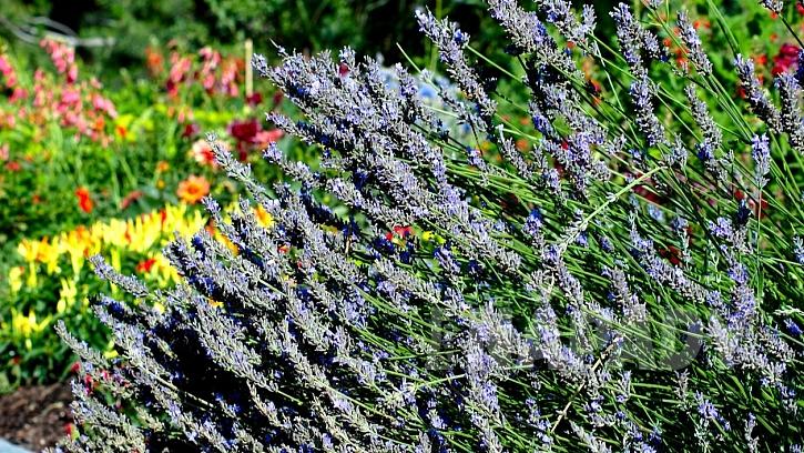 Levandule lékařská (Lavandula angustifolia): rostliny na záhoně je potřeba pravidelně sestřihávat