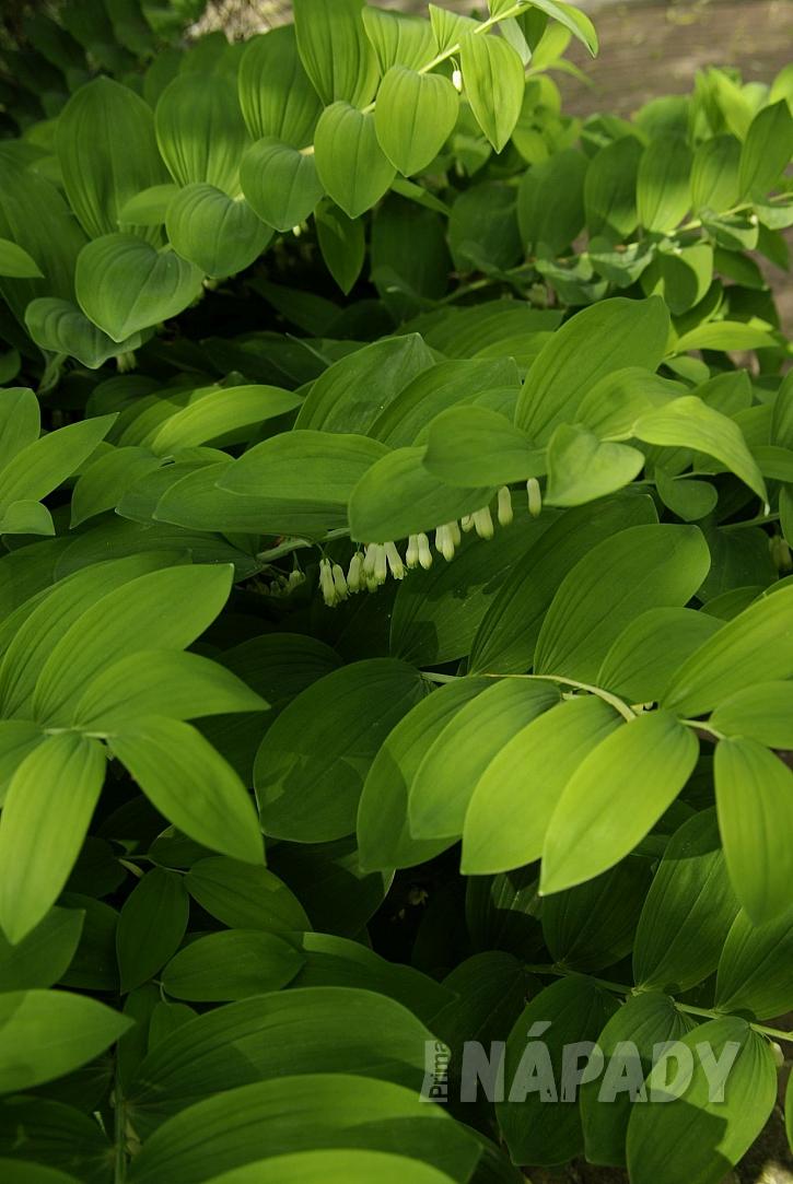 1 ve stínu výborne roste kokořík