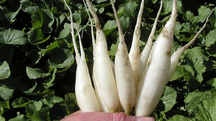 Čerstvé ředkvičky každý den: poloraná odrůda RAMPOUCH