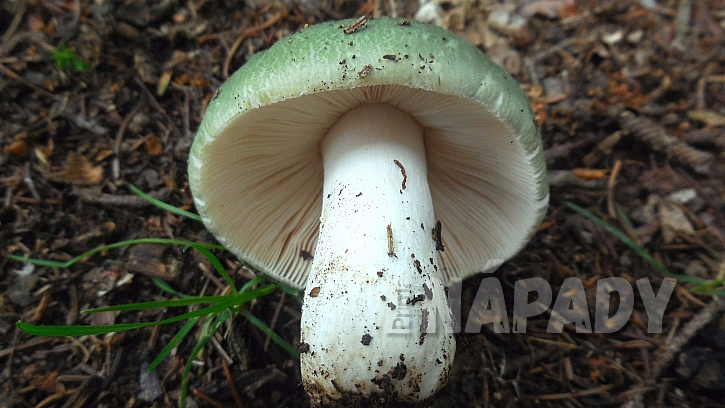 Holubinka nazelenalá je houba, pro kterou se rozhodně vyplatí shýbnout  3