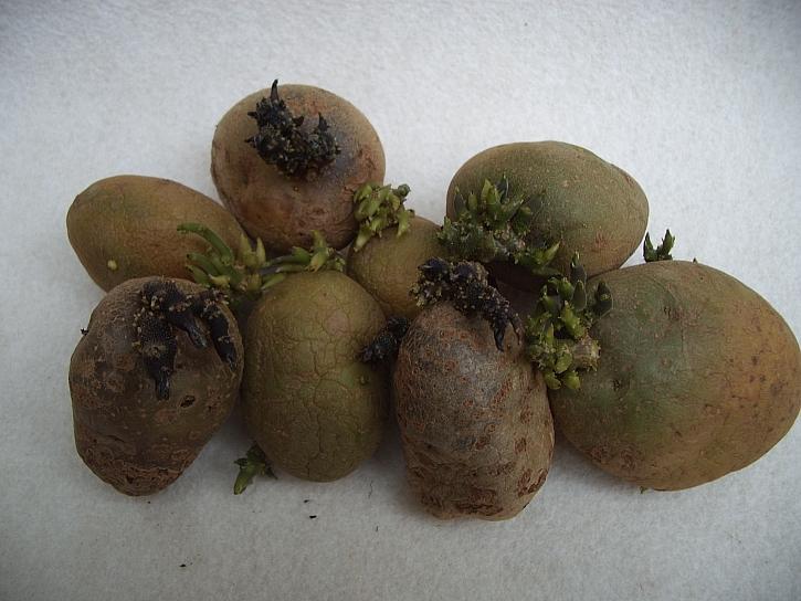 Nastala doba klíčení brambor na sadbu, připravte se na ni (Zdroj: Ludmila Dušková)