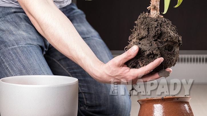 Proč hnědnou listy pokojových rostlin: pečlivě zkontrolujte stav kořenů