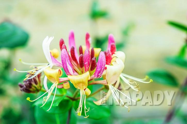 květy okrasného zimolezu kozí list