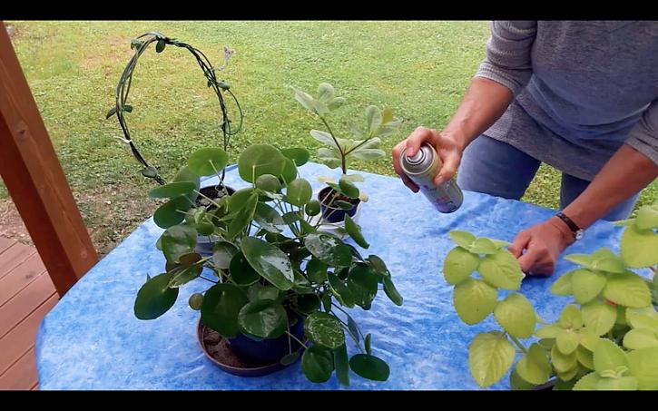 Lída aplikuje lesk na pokojové rostliny.