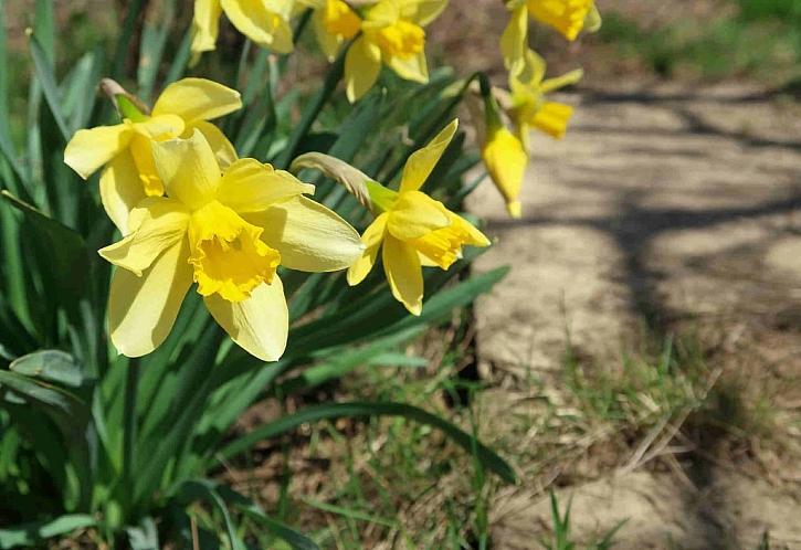 Rozkvetlé narcisy rozzáří každou jarní zahradu
