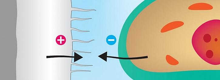 2. Dochází k vychýlení iontů. Díky opačnému náboji se ionty zježí proti membráně nepřátelské buňky.