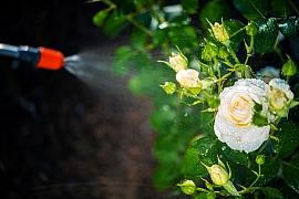 Ošetření a postřik na růže
