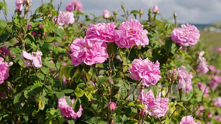 Růže damašská (Rosa damascena) pomáhá hlavně při ženských problémech