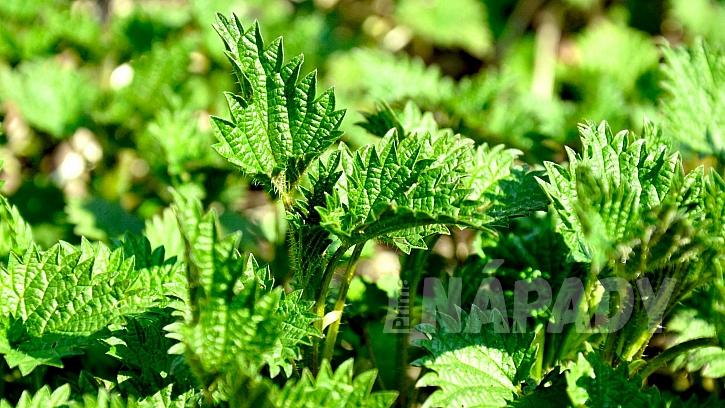 Kopřiva dvoudomá (Urtica dioica) má pověst úporného plevele