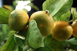 Domácí pěstování mandarinek a citronečníků: Máte chuť na vlastní citrusy?