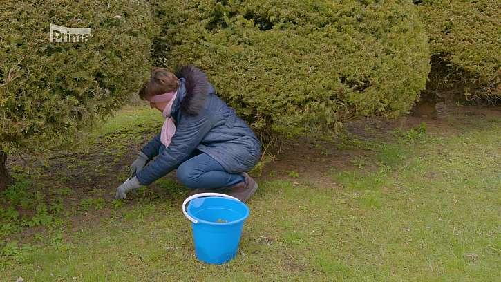 Plevelení trávníku