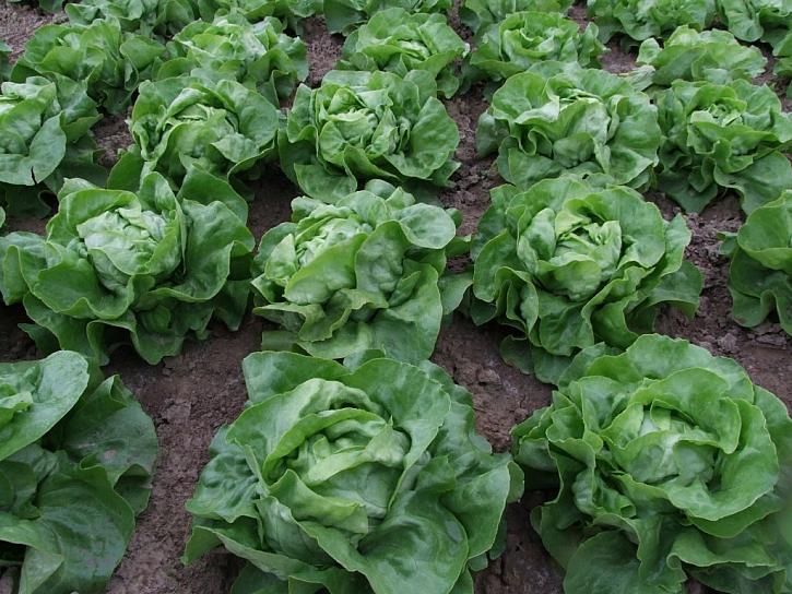 Ozimý salát