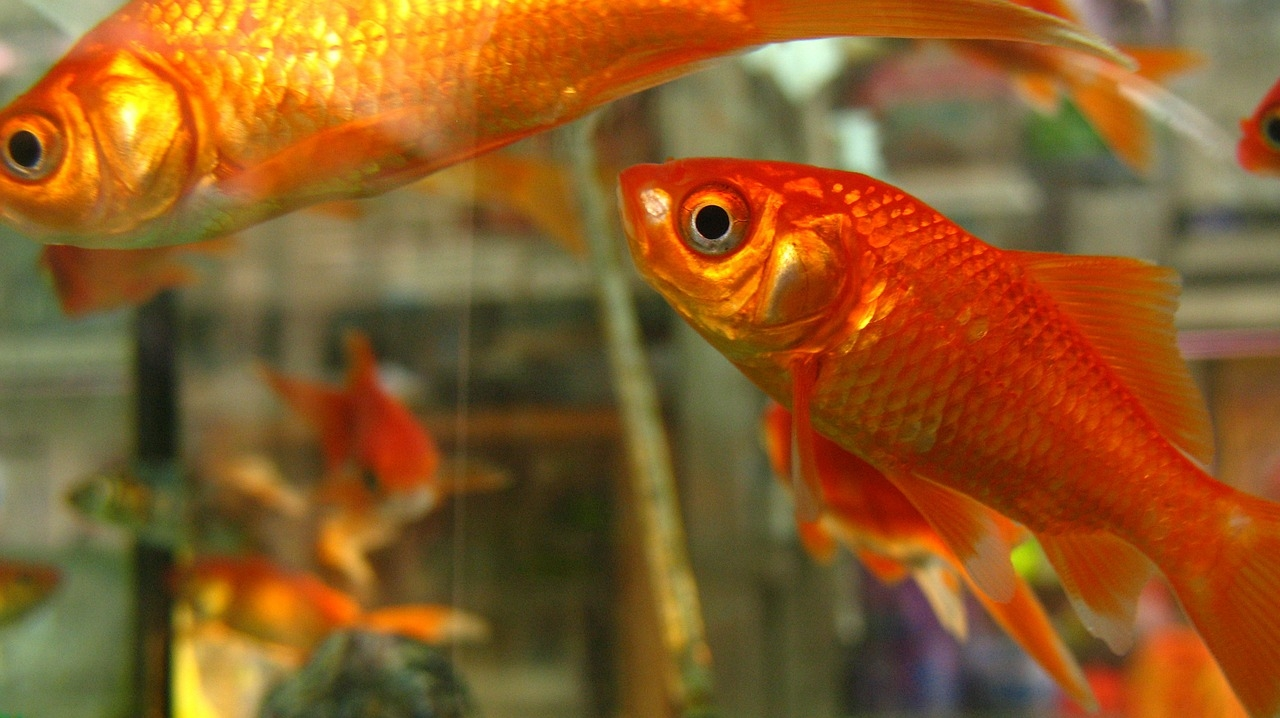 Jak chovat v akváriu zlaté rybky: Splněná přání ale nečekejte