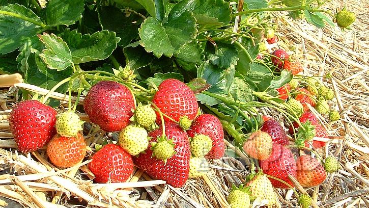 Sezona nejoblíbenějšího ovoce vrcholí 1
