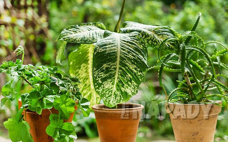 Listy pokojových rostlin