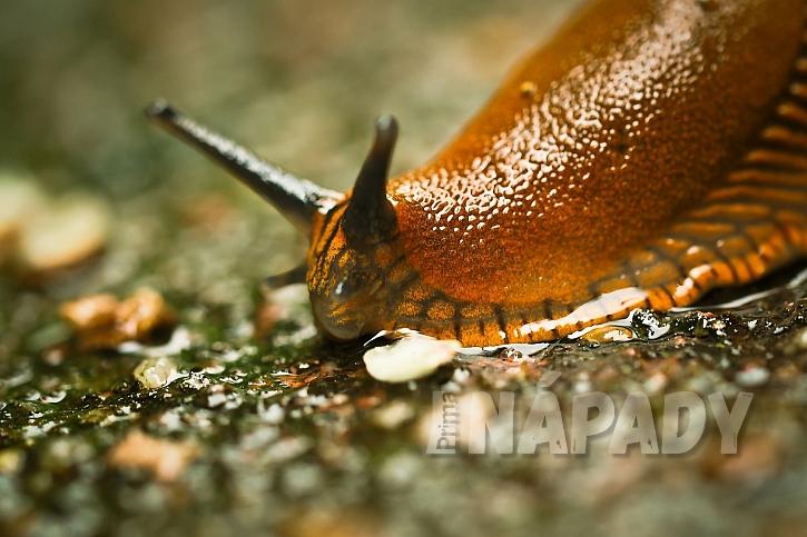 Slimáci patří mezi nejznámější škůdce na zahradě (Zdroj: NEUDORFF)