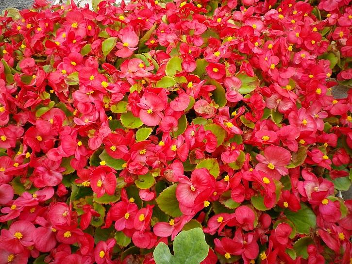 Begonia spfl. Skalka F1