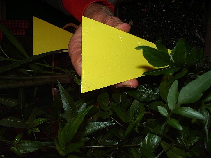Žluté lapače v květináčích