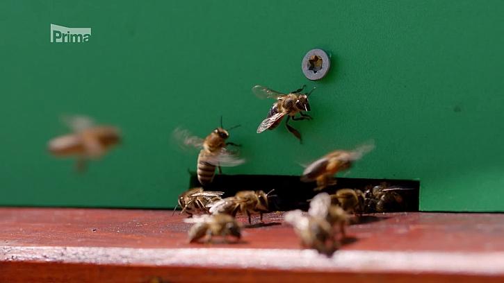 Výroba propolisové tinktury díky včelám (Zdrpj: Výroba propolisové tinktury)