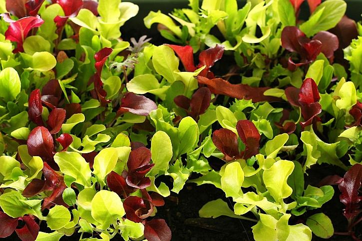 Listový baby salát ve velké škále barevných a tvarových variant (Zdroj: Depositphotos)