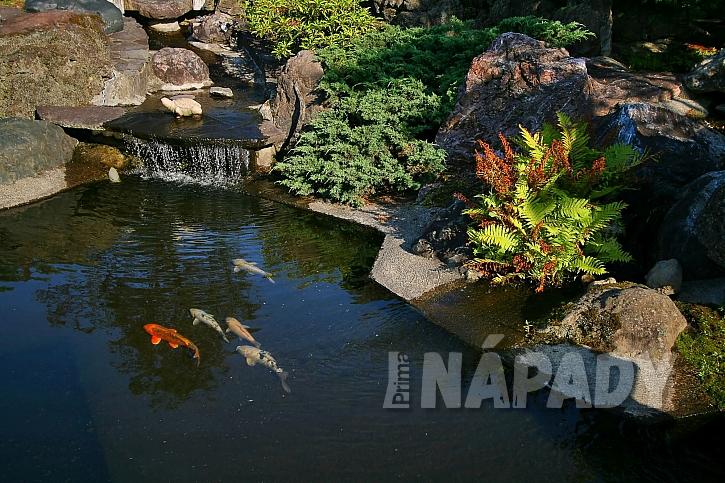 Koi kapři v japonské zahradě