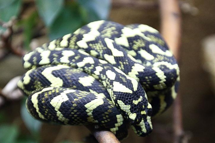 Zazimování hadů  musíme dát patřičnou péči (Zdroj: Archiv FTV Prima)