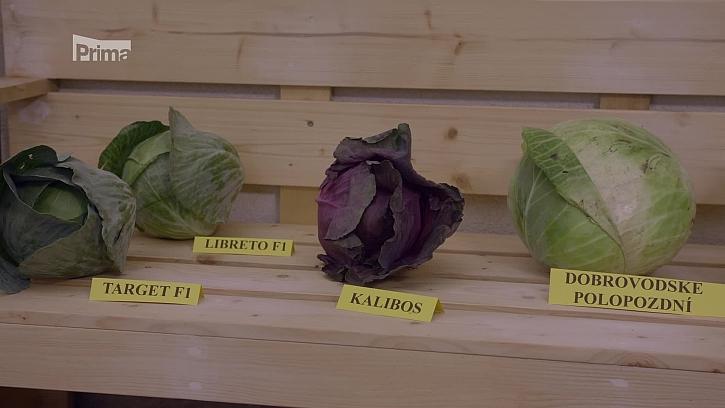 Je nejvyšší čas na nakládání zelí (Zdroj: Výběr odrůd zelí k nakládání)