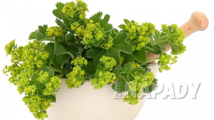 Kontryhel obecný: z čerstvé bylinky se dá připravit nálev, tinktura či koupel