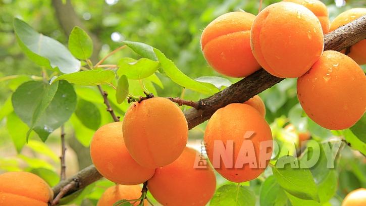 Meruňka obecná (Prunus armeniaca) patří  spolu s třešní, broskvoní či švestkou k rozsáhlému rodu slivoní.