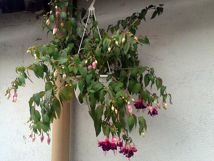 Fuchsie jsou krásné, pojďte si je prohlédnout na výstavu v Zahradnictví Petro!