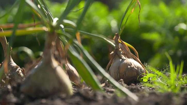 Ukázka pěstování cibule.