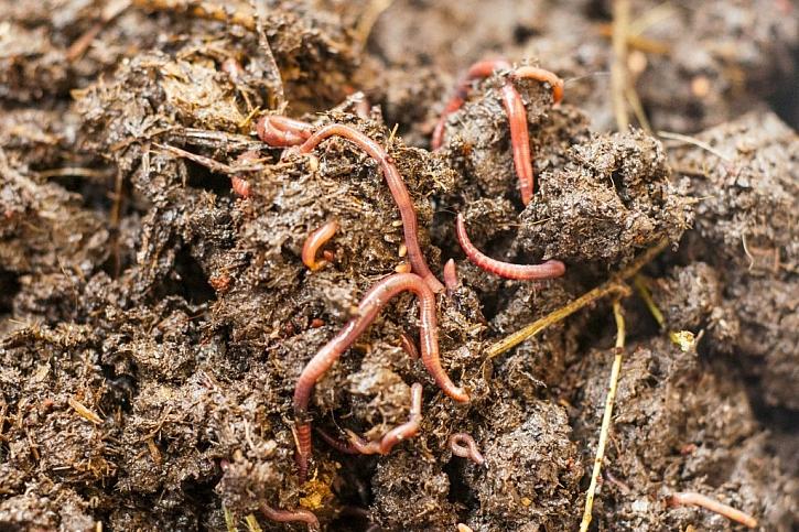 Hlavním činitelem přeměny odpadu v kompost jsou žížaly