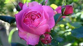 4 nejčastější chyby při pěstování růží. Neděláte je taky?