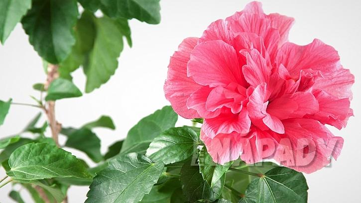 Ibišek čínský (Hibiscus rosa–sinensis) má velké květy, které mohou být jednoduché i plné v různých odstínech červené, růžové, oranžové, žluté i bílé
