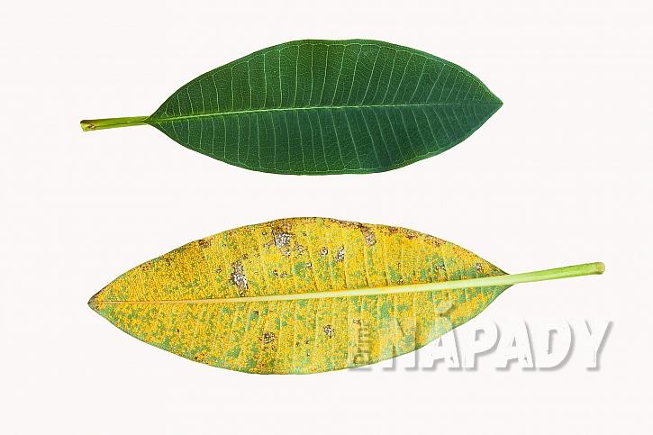 Porovnání zdravého listu a listu napadeného chorobou