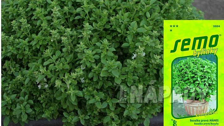 Mini bazalky pro truhlíky a květináče: odrůda MÁNES