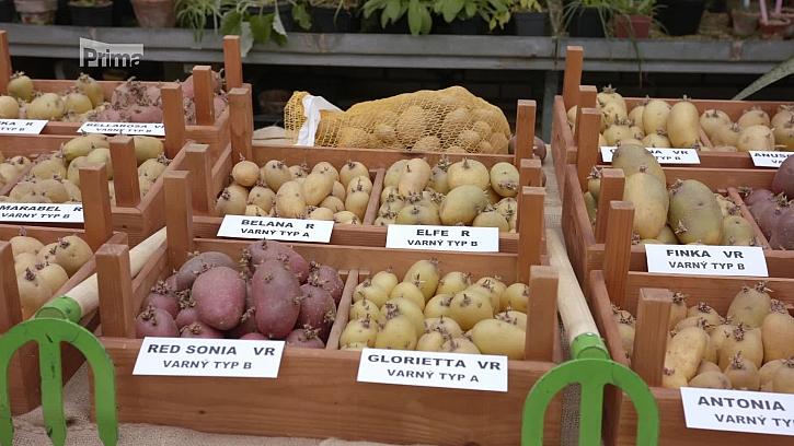 Jak se předkličují brambory? (Zdroj: Předkličujeme brambory)