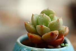 Vyrobte si domácí mast zdužnatky agávovité, která uleví nejenom při bodnutí hmyzem