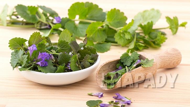 Popenec obecný (Glechoma hederacea) řeší problémy s únavou, trávením i kašlem jako léčivá bylinka