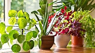 Proč hnědnou listy pokojových rostlin? Víme, jak se to dá napravit!