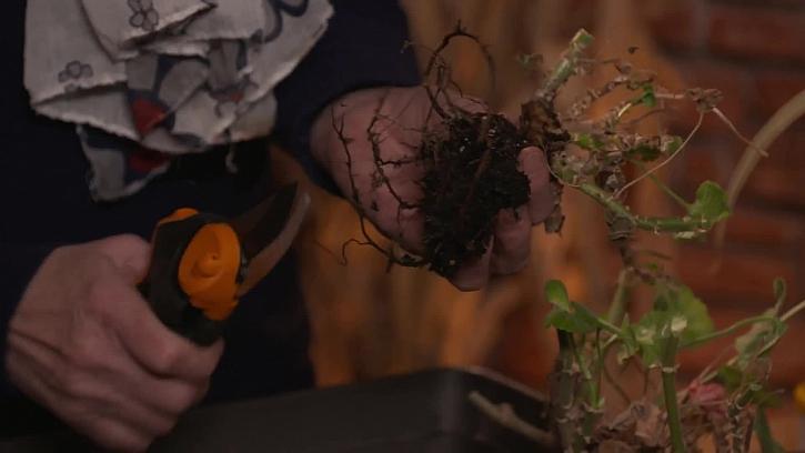 Očištění kořenů