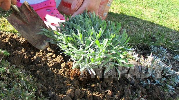 Jak zasadit na zahradě levanduli 4