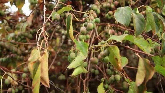 Pěstování angreštových kiwi