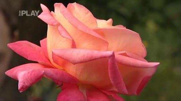 Škůdci na růžích a zazimování růží