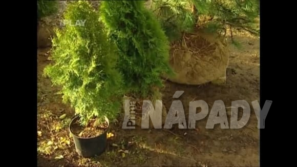 Výsadba okrasných dřevin