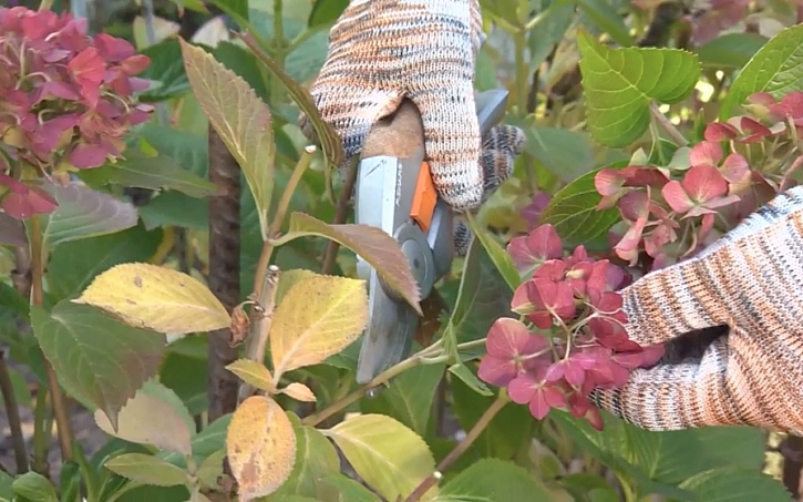 Hortenziím odstraníme pouze květenství.