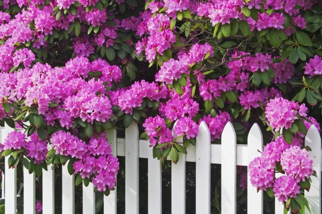 Rododendron a zimní péče: zabraňte problémům včas