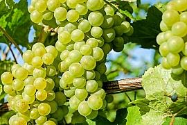 Kam na výlet: Nastal čas vinobraní…